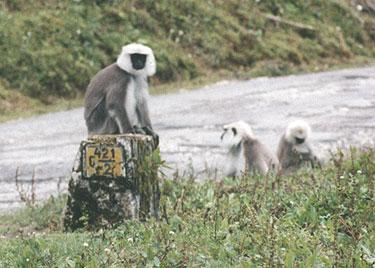 Monkeys near road