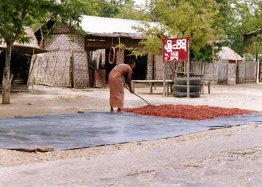 Sun drying chillies