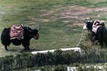 Yaks with decorative saddles