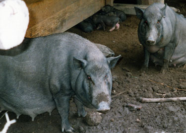 Vietnamese pot-bellied sow