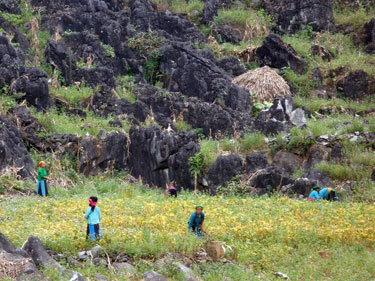 Hmong ladies harvesting