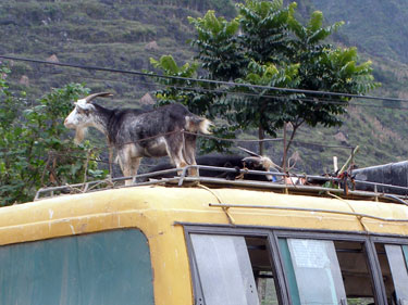 Goats on bus roof